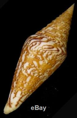 FS Conus excelsus Freshly Collected 106.4mm Very Rare Gigantic Size